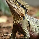 Water Dragon Lizard by Paul Sparrow