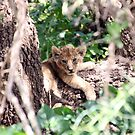 Lion Cub by tracyleephoto
