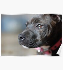 English Staffy Pup Poster