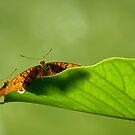 Butterflys by Vincent Bayliss