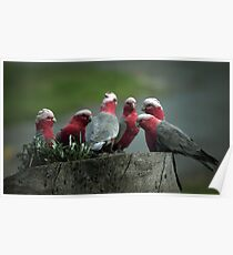 Gossiping Galahs Poster
