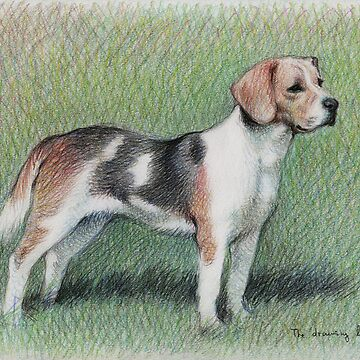 Beagle by thedrawinghands
