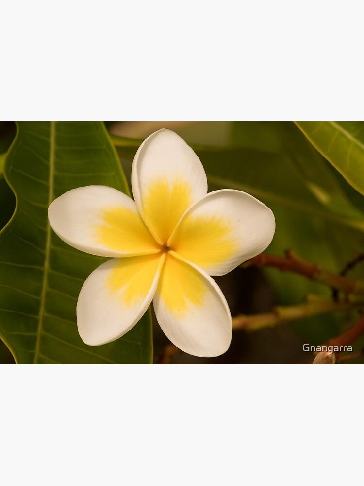 frangipani too by Gnangarra