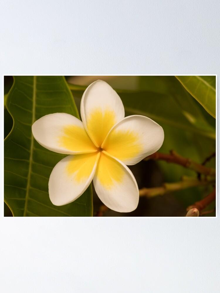 Alternate view of frangipani too Poster