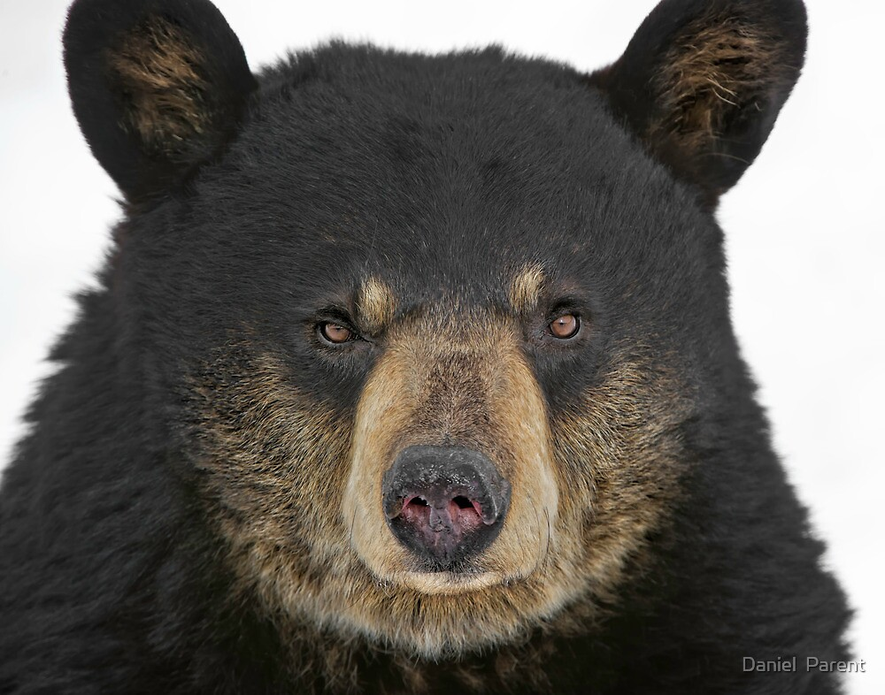 Bear and Grin it by Daniel  Parent