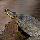 Blanding's turtle by Daniel  Parent