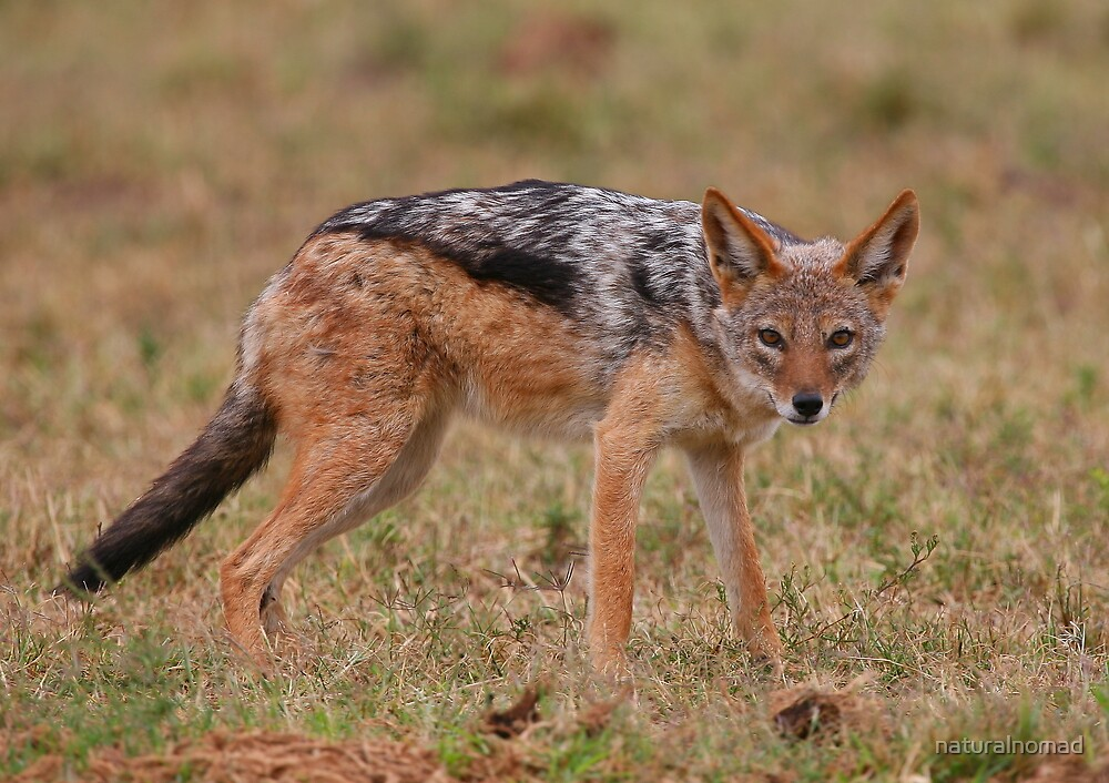 Caught In The Act / Black-Backed Jackal by naturalnomad