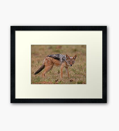 Caught In The Act / Black-Backed Jackal Framed Print