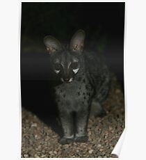 Small-spotted Genet Poster