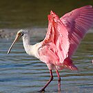 Roseate Spoonbill by naturalnomad
