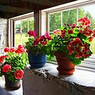 Three Pots of Geraniums on Windowsill by Susan Savad