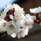 Appricot blossom by Ivo Velinov