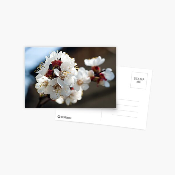 Appricot blossom Postcard