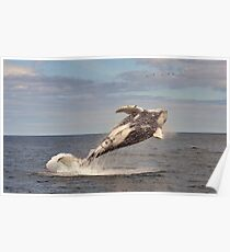 Humpback Breaching Poster