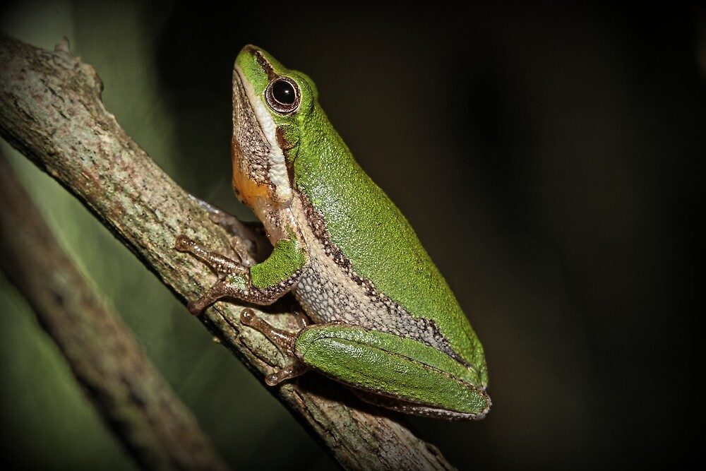 Frog on Branch by Trevor Farrell