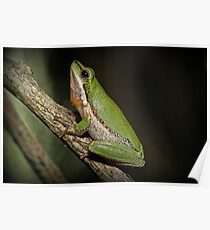 Frog on Branch Poster