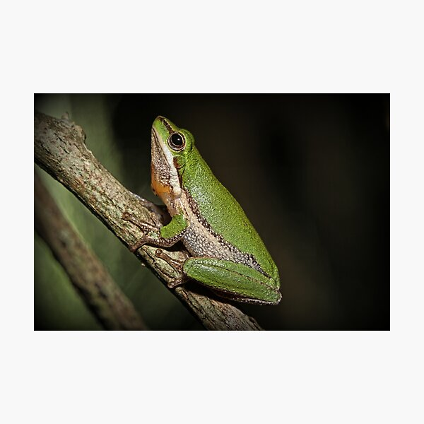 Frog on Branch Photographic Print