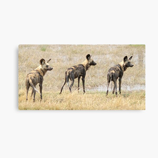 Three wild dogs Canvas Print
