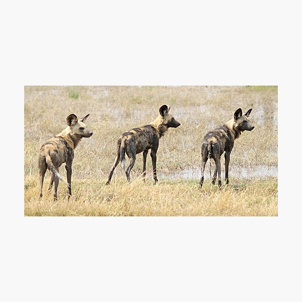Three wild dogs Photographic Print