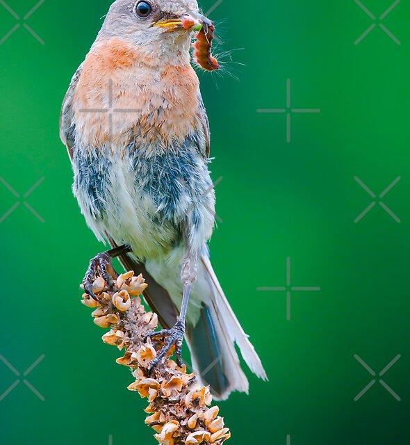 Female Eastern Bluebird with caterpillar by (Tallow) Dave  Van de Laar
