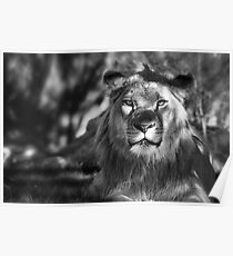 African Lion in Black and White  Poster