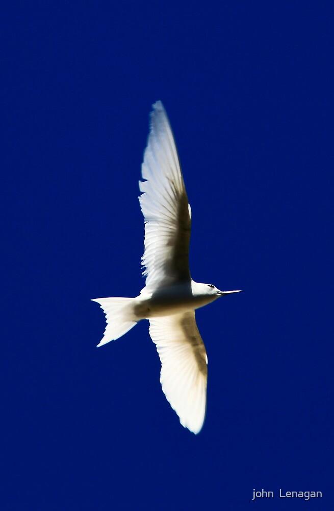 White ( Fairy) Tern by john  Lenagan