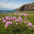 Thrift on the Pembrokeshire coast by Annie Haycock