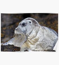 Bearded Seal Poster