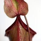 spurt of a petal! by yvesrossetti