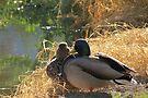 Mallard Ducks ~ Morning Light by Kimberly Chadwick