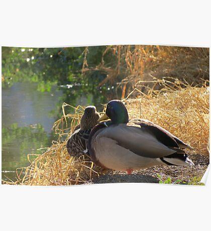 Mallard Ducks ~ Morning Light Poster
