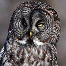 Great Grey Owl by Nancy Barrett