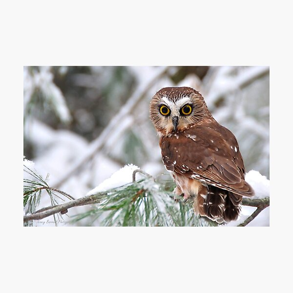 Saw-whet Owl Photographic Print