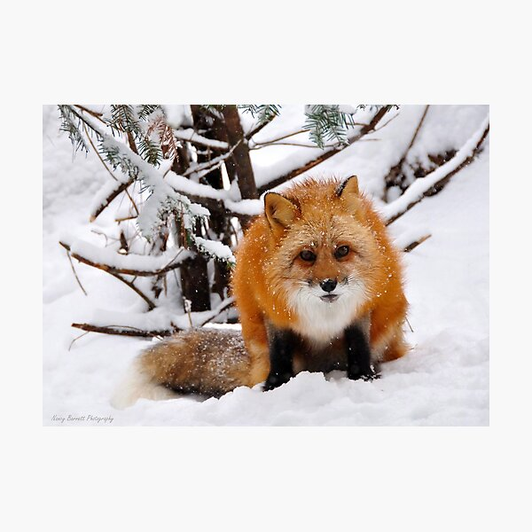 Foxy Face Photographic Print