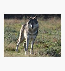 NORTH AMERICAN TIMBER WOLF Photographic Print