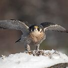 Peregrine having lunch in the snow by Annie Haycock