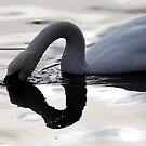 Swan Light by John Dalkin