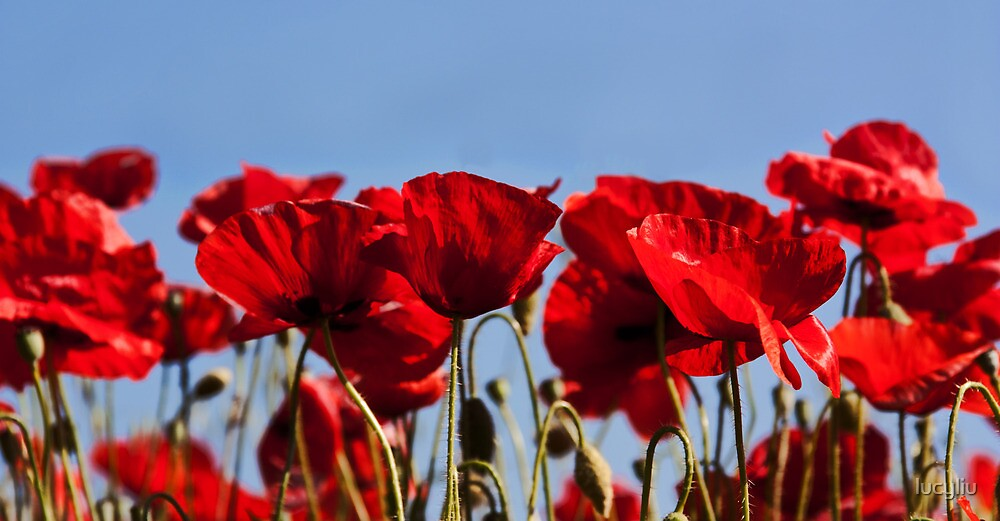 summer poppies by lucyliu