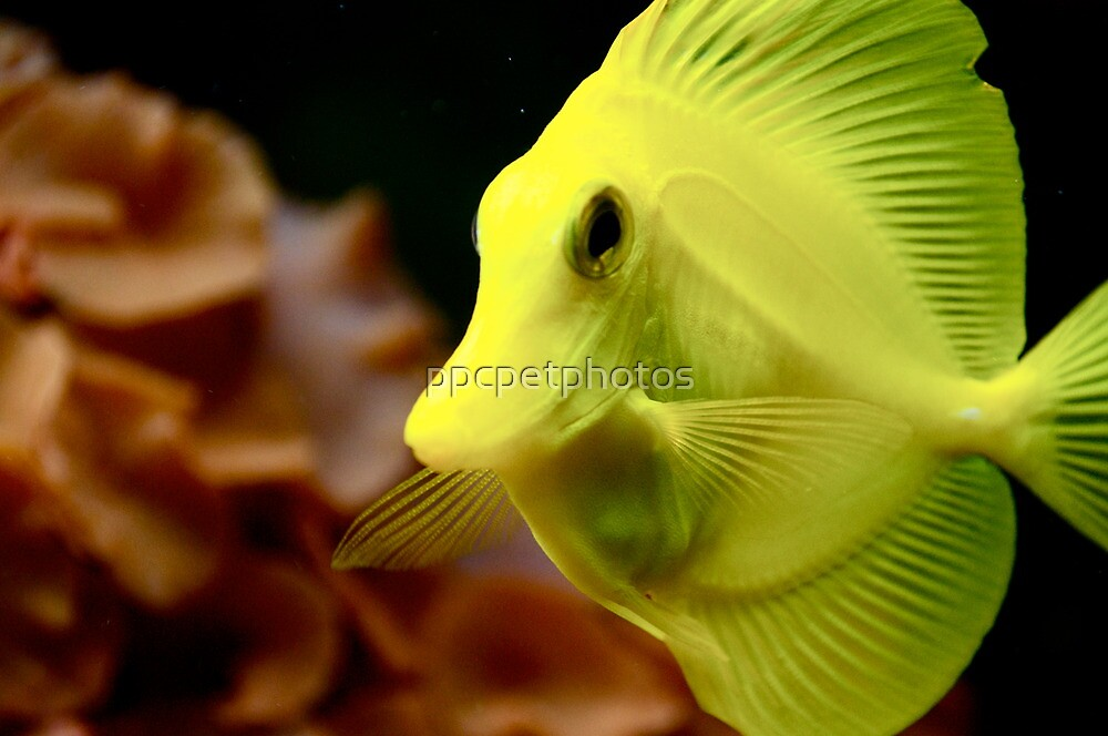Yellow Tang by ppcpetphotos
