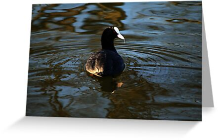 Coot (Fulica atra) by larry flewers