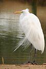 Great  White Egret (Breeding) by Kimberly Chadwick