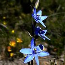 Blue Lady Orchid, Thelymitra crinita by JuliaKHarwood
