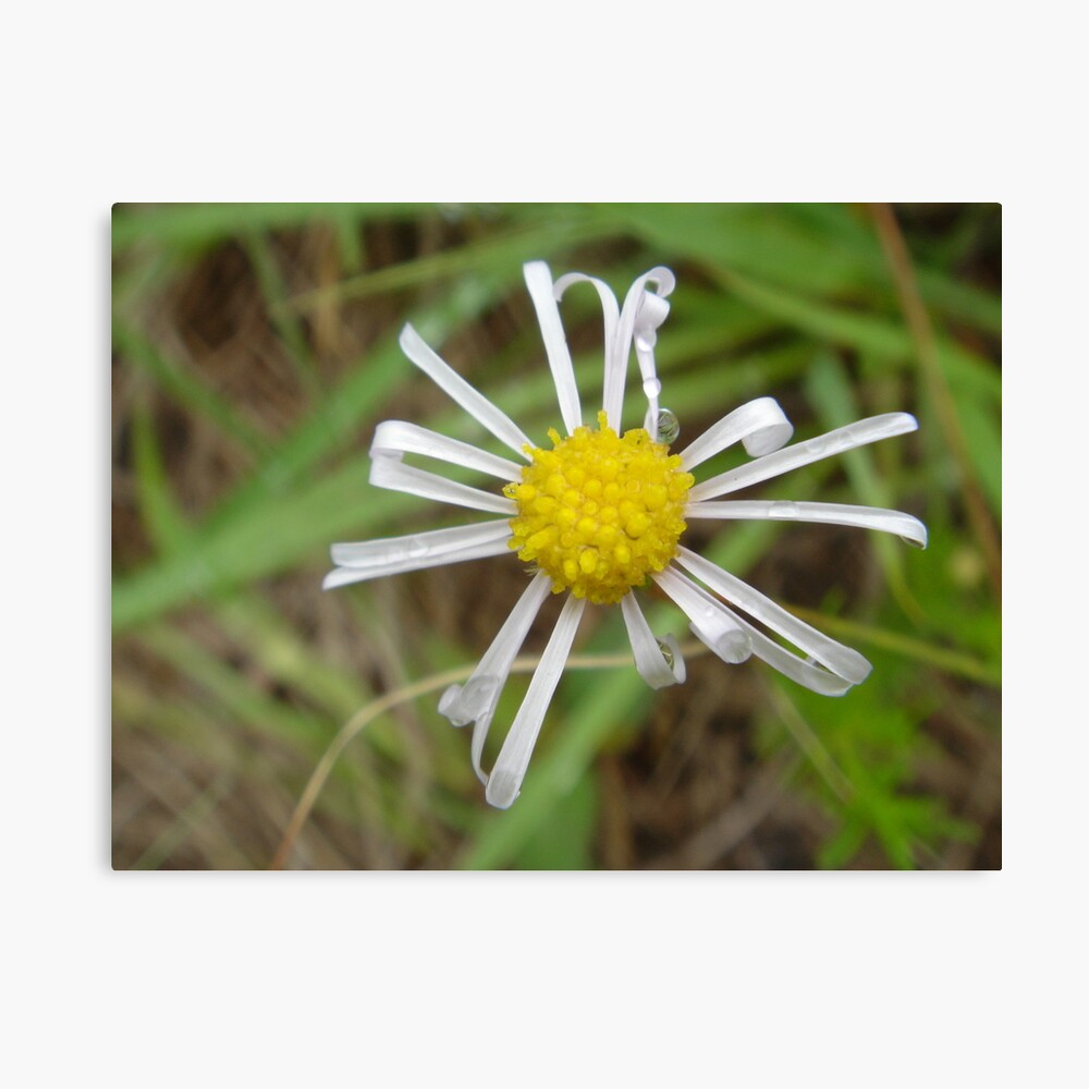 Poor little wild daisy Lienzo