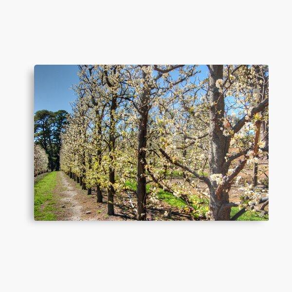 Fruit Trees in Perth Hills # 2 Metal Print