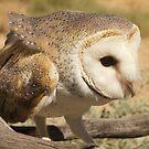 Barn Owl by Alex Colcheedas
