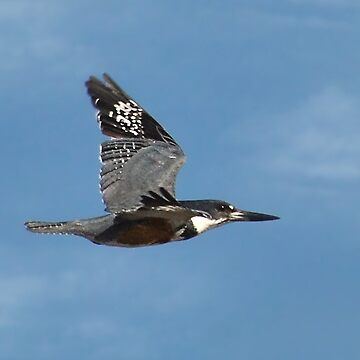 Belted Kingfisher In Mid Flight by KBaccari
