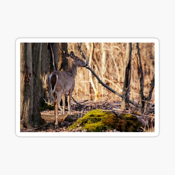 Doe, a Deer a Female Deer Sticker