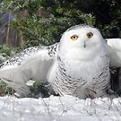 Snow Owl by cherylc1