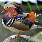 Mandarin Duck, Singapore. (3) by Ralph de Zilva
