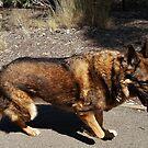 Maclyn - Deutscher Schaferhund by brendanscully